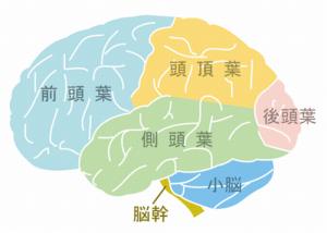 大脳の部位
