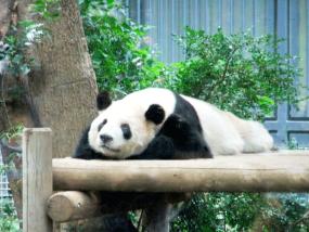 だらだらと寝そべるパンダの写真