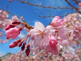 青空の下満開に咲く桜の花のアップ
